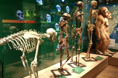 Museum puts evolution on show